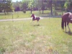 Жеребенок лихо входит в забор (видео)