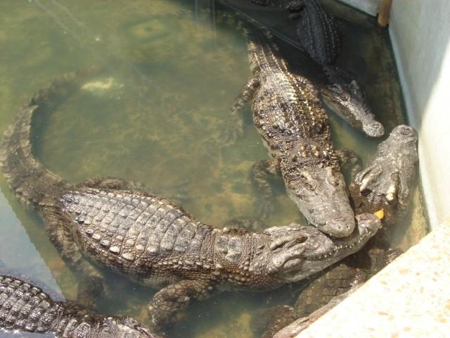 Как в Тайланде носят крокодилов.3 фото