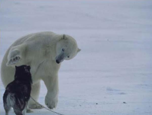 Полярный медвед - он не страшный совсем (6 фото)
