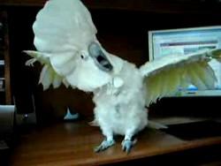 Танцующий попугай ^_^