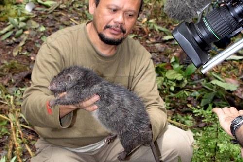 Индонезийская гигантская крыса