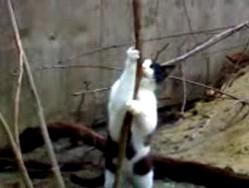 Кошачий стрепризег