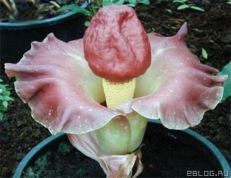 цветок похожий на фаллос
