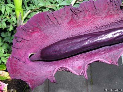 Половой член растение