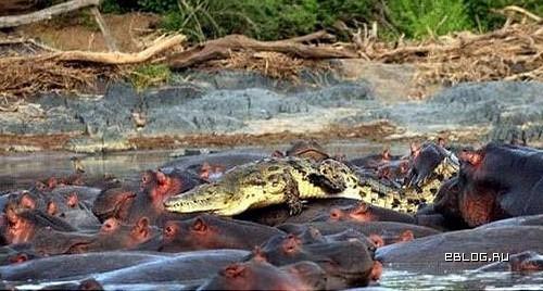 Крокодила проучили. 2 фото