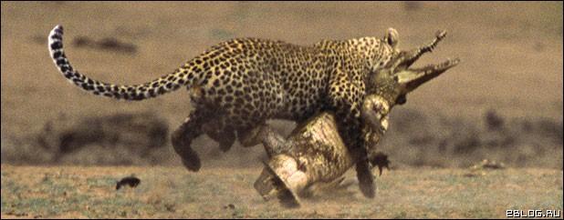 Зверская битва крокодила и леопарда, 8 фото.