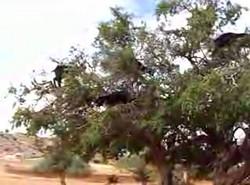 Козлиное дерево